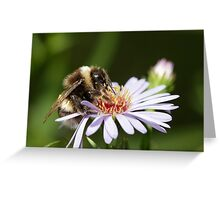 Bumble Bee drinking nectar from a puple flower. Greeting Card