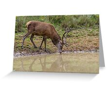 A Red Deer stag takes a drink from a woodland pool. Greeting Card