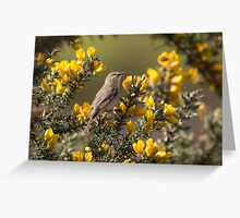 Willow warbler (Phylloscopus trochilus) foraging among gorse. Greeting Card