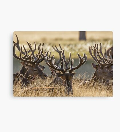 Red Deer stags (Cervus elaphus) resting in the long grass, with velvet antlers. Canvas Print