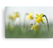 Daffodils in the field Canvas Print