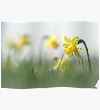 Daffodils in the field Poster