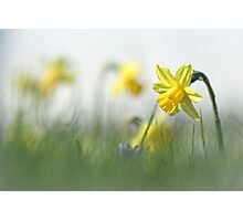 Daffodils in the field Photographic Print
