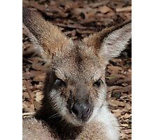 Red-necked Wallaby Portrait Photographic Print