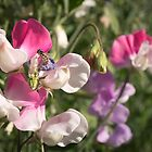 Native Bees in the Sweet Peas by Clare Colins