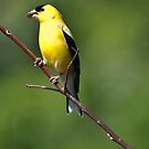 Gold Finch by barnsis