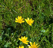 buttercups in a lush green garden lawn by morrbyte
