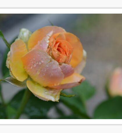 peach rose Sticker
