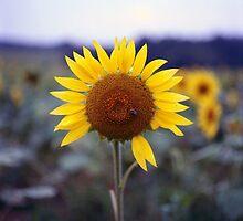 Sunflower's Last Days by Daniel Regner