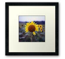 Sunflower's Last Days Framed Print