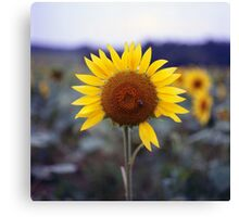 Sunflower's Last Days Canvas Print