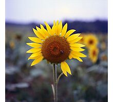 Sunflower's Last Days Photographic Print