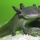 My cute axolotl by ulryka