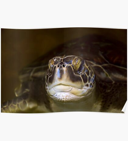 green turtle after hatching on their first voyage to the Mediterranean Sea  Poster