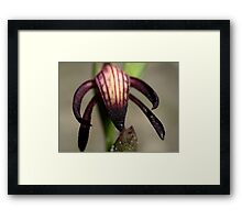 Pyrorchis Nigricans  Framed Print