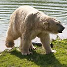 Cool Bear by Ray Clarke