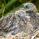 Dove chicks 004 by kevin chippindall