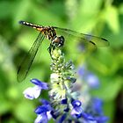 Dragonfly on Sage by ♥⊱ B. Randi Bailey
