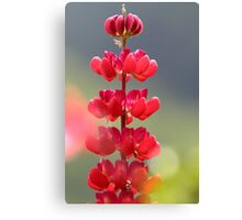Lupin rouge Canvas Print