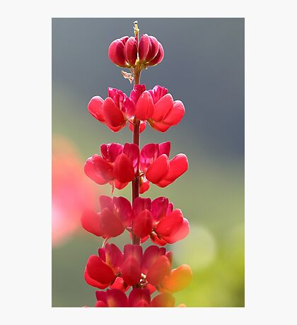 Lupin rouge Photographic Print