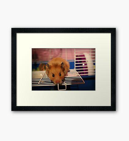 Syrian Hamster Framed Print