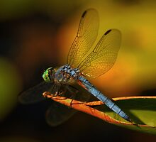 Dragonfly in Kaleidiscope by Barbara  Brown