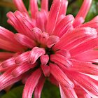 Justicia carnea by Trish Meyer