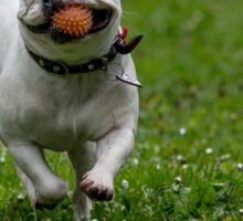 French bulldog running in the garden Sticker