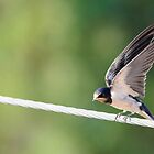 Barn Swallow by GD-Images