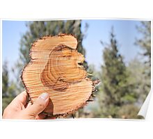 section through a pine tree trunk This shows marked growth rings.  Poster