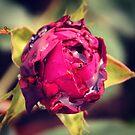 Pink rose by Jonesyinc