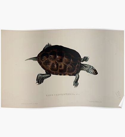 Tortoises terrapins and turtles drawn from life by James de Carle Sowerby and Edward Lear 035 Poster
