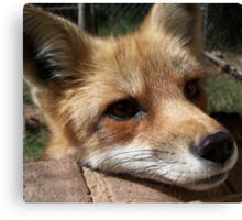 Rusty the Red Fox Canvas Print