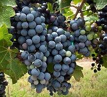Harvest Time at Coronado Vineyards by Lucinda Walter