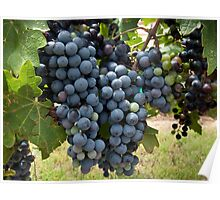 Harvest Time at Coronado Vineyards Poster