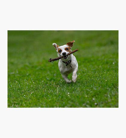 Jack Russel Terrier in the spring garden.  Photographic Print
