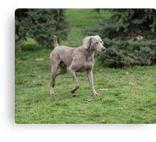 Weimaraner Dog running outside Canvas Print