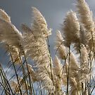 Pampas Grass by Dave Hare