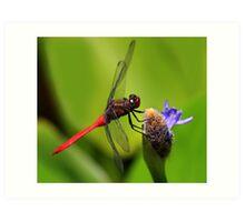 Red Skimmer at Rest Art Print