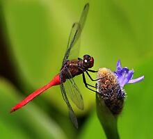Red Skimmer at Rest by Ann  Van Breemen
