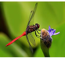 Red Skimmer at Rest Photographic Print