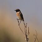 Stonechat by miradorpictures