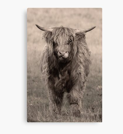 Highland cattle hungry for more Canvas Print