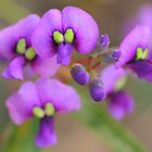 Hardenbergia violacea by Michael Matthews