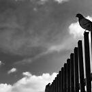 Columbidae Sentinel – Paris France by Norman Repacholi