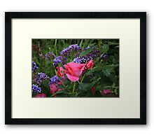 Pink rose and statice in garden Framed Print