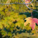 Acer Leaf  by Rob Hawkins