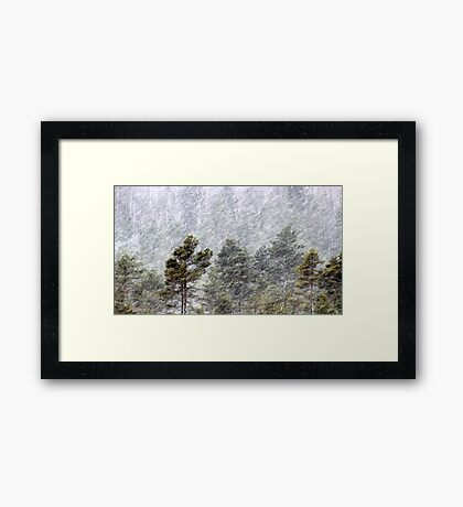 9.11.2016: Pine Trees in Snowstorm II Framed Print