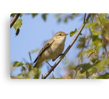 Willow warbler (Phylloscopus trochilus) perched in a tree. Canvas Print