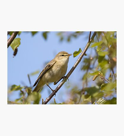 Willow warbler (Phylloscopus trochilus) perched in a tree. Photographic Print
